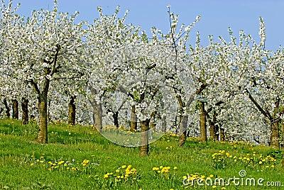 Ochard in blossom