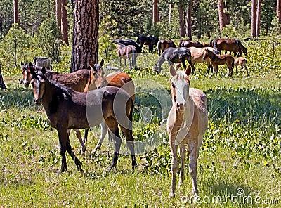 Ochoco Wild Mustang Horse Herd in Forest