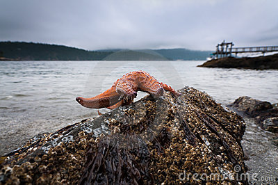 Ochre Sea Star on a rock at low