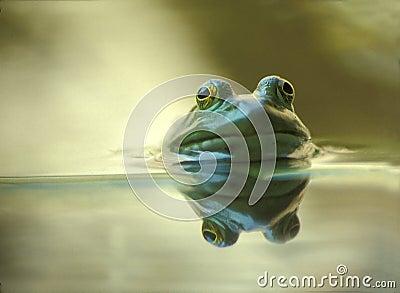 Ochsenfrosch