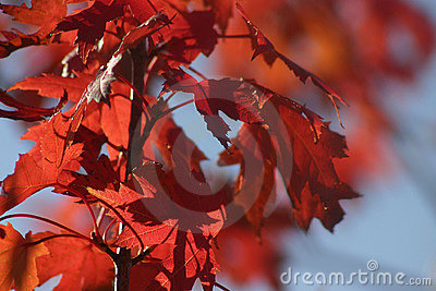 October Red Leaves