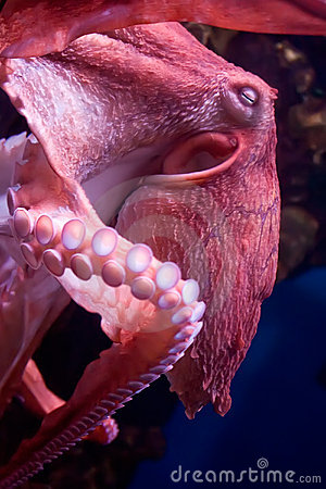 Free Octopus Stock Photo - 11902320