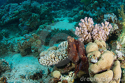 Octopus in coral reef