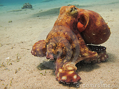 Octopus on the move