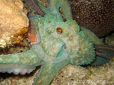 Octopus night dive