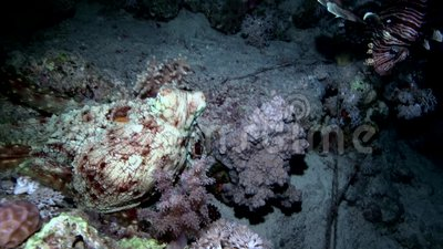 Octopus in the night with lion fish Red sea stock video footage