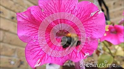 Ocupado tropeçar a abelha video estoque