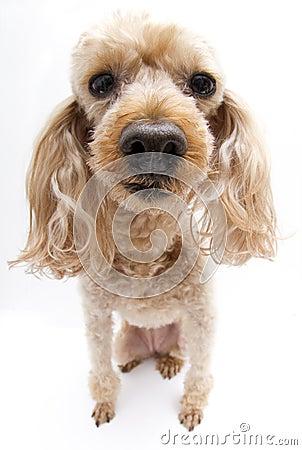 Odd Poodle