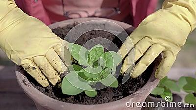 Odlaren täcker rotar av den gröna grodden vid jordning i blomkruka i solig dag i vår, närbildsikt arkivfilmer