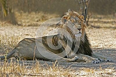 Odpoczynkowy lew