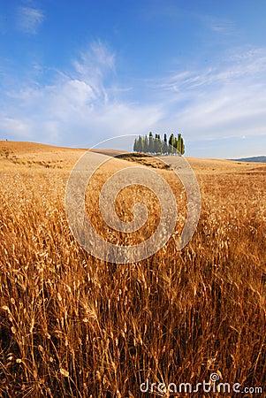 Odpowiedz Toskanii pszenicy
