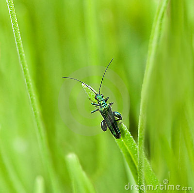 Oedemera nobilis beetle