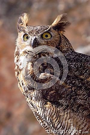 Oehoe, owl, Bubo bubo