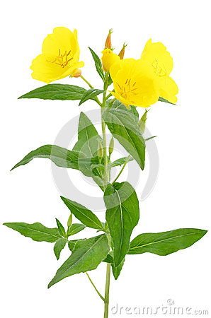 Oenothera flower
