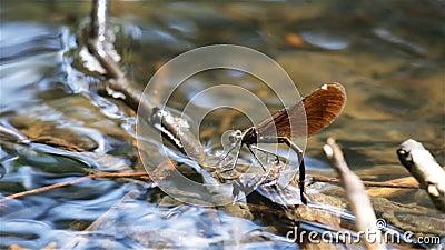 Oeufs de configuration de libellule sous l'eau du côté clips vidéos