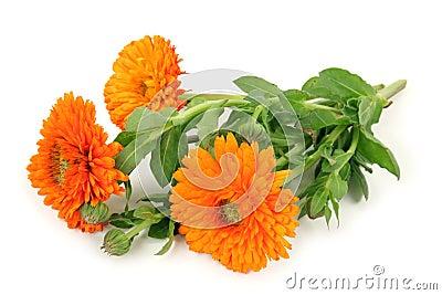 Liste de plantes pour les soins Officinalis-de-calendula-8615663