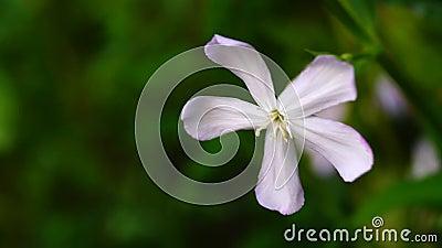 Officinalis Saponaria απόθεμα βίντεο