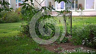 Ogród męski kosący trawnik między drzewami i kwiatami w ogrodzie zbiory wideo