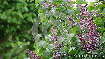 Ogród wiatru z drzewa fioletowego nikt nie miał nagrań z tła zdjęcie wideo