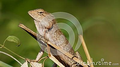 ogrodowa jaszczurka Oriental zbiory wideo
