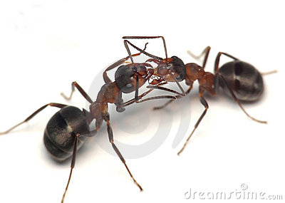Oh, darling! two ants