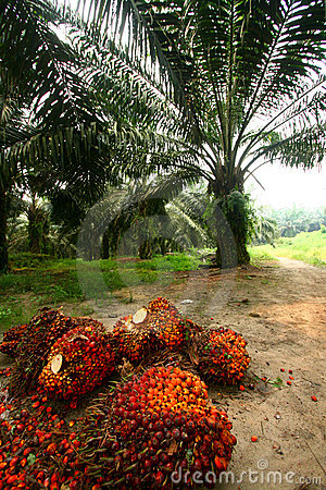 Oil Palm Fruits in Plantation