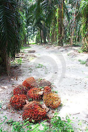 Oil palm fruits in plantation - Series 3