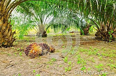 Oil palm in garden