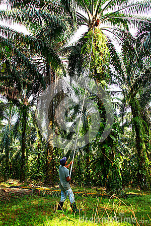 Oil Palm Harvesting Editorial Stock Image