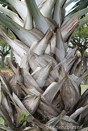 Oil palm stems