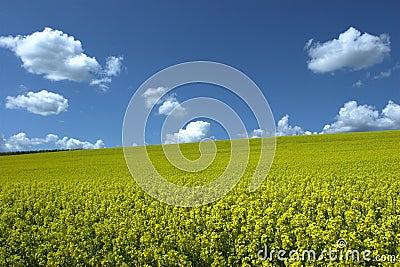 Oil rape field under blue sky