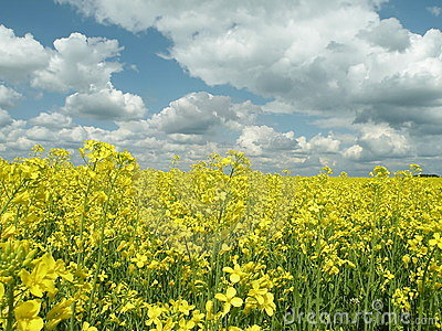 Oil Rape Fields