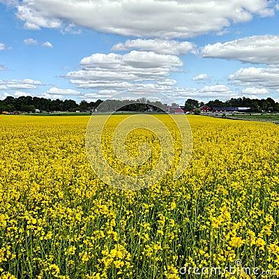 Oil seed rapeseed