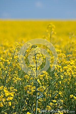Free Oilseed Rape Stock Image - 90123081