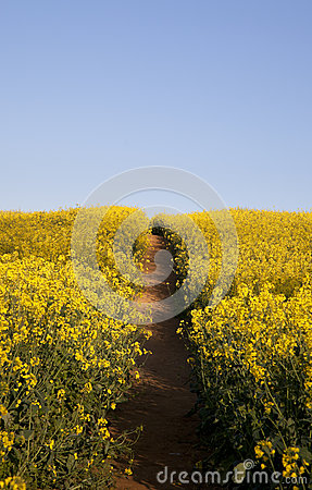 Oilseed Rape Background