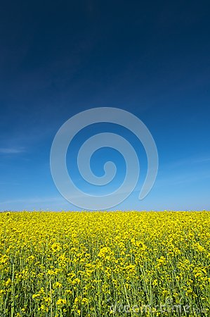 Free Oilseed Rape Field Royalty Free Stock Images - 24991329