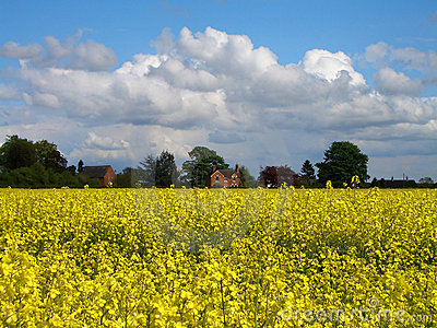 Oilseed Rape Field in Bloom