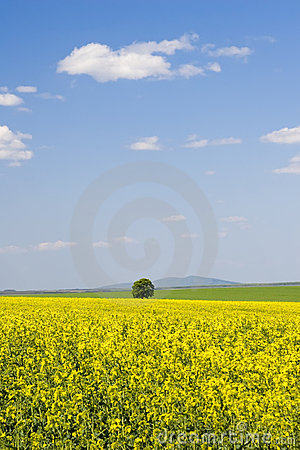 Oilseed rape field during summer with blue sky