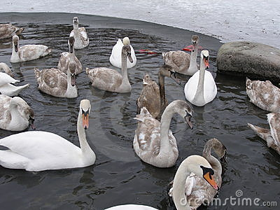 Oily swan between others