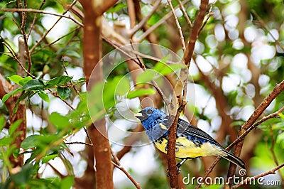 oiseau bleu et jaune de pinson photo stock image 24314600. Black Bedroom Furniture Sets. Home Design Ideas