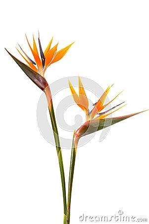 oiseau de fleur de paradis photos libres de droits image. Black Bedroom Furniture Sets. Home Design Ideas