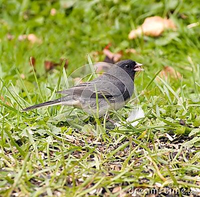 Oiseau de Junco sur l herbe