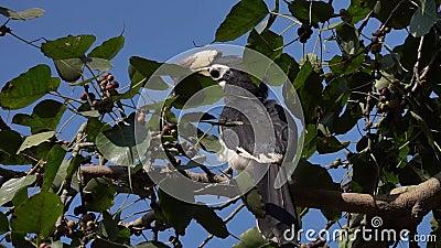 Oiseau pie oriental de calao se reposant sur le brunch Anthracoceros Albirostris d'arbre banque de vidéos