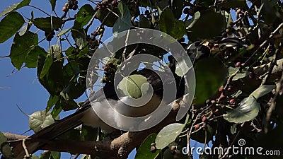 Oiseau pie oriental de calao se reposant sur le brunch Anthracoceros Albirostris d'arbre clips vidéos