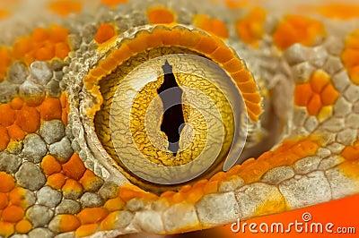 Ojo de un Gecko de Tokay
