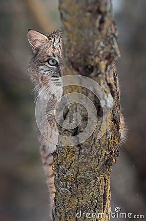 Ojo del lince (rufus del lince) detrás de la rama