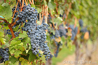 Okanagan Grapes Ready for Harvest
