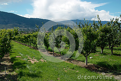 Okanagan Valley Orchard, BC Canada
