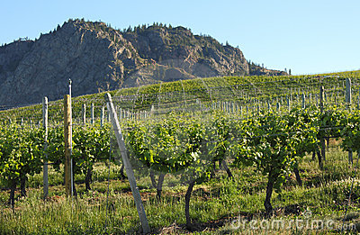Okanagan Vineyard, Morning, British Columbia