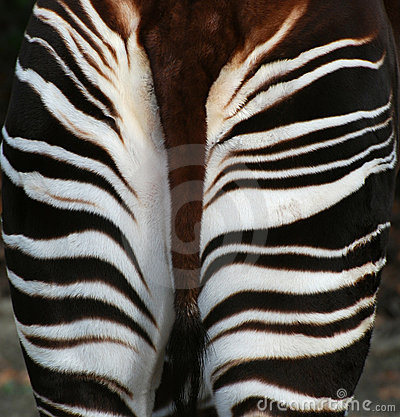 Okapi behind